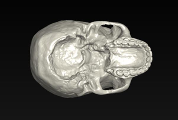 View of Homo heidelbergensis from the bottom.