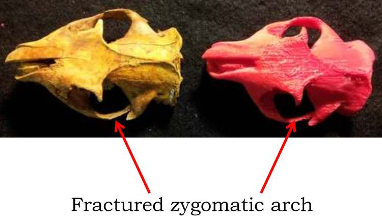 Actual (left) and plastic replica (right) of groundhog skull.