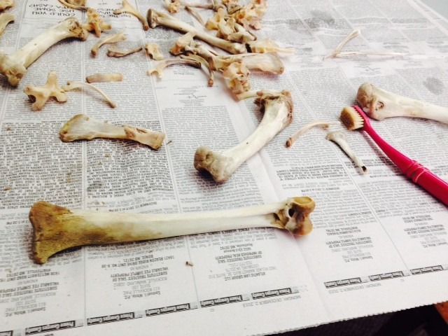 Cleaning turkey bones in the lab before they are ready to be scanned.