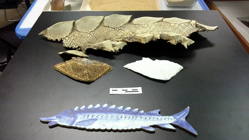 Sturgeon scute replica adjacent to the archaeologicallyrecovered original and adjacent to scutes from a modern sturgeon.