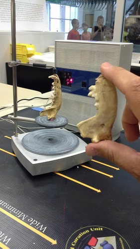 Scanning the right mandible of a dog and comparing to a replica from Jamestown.