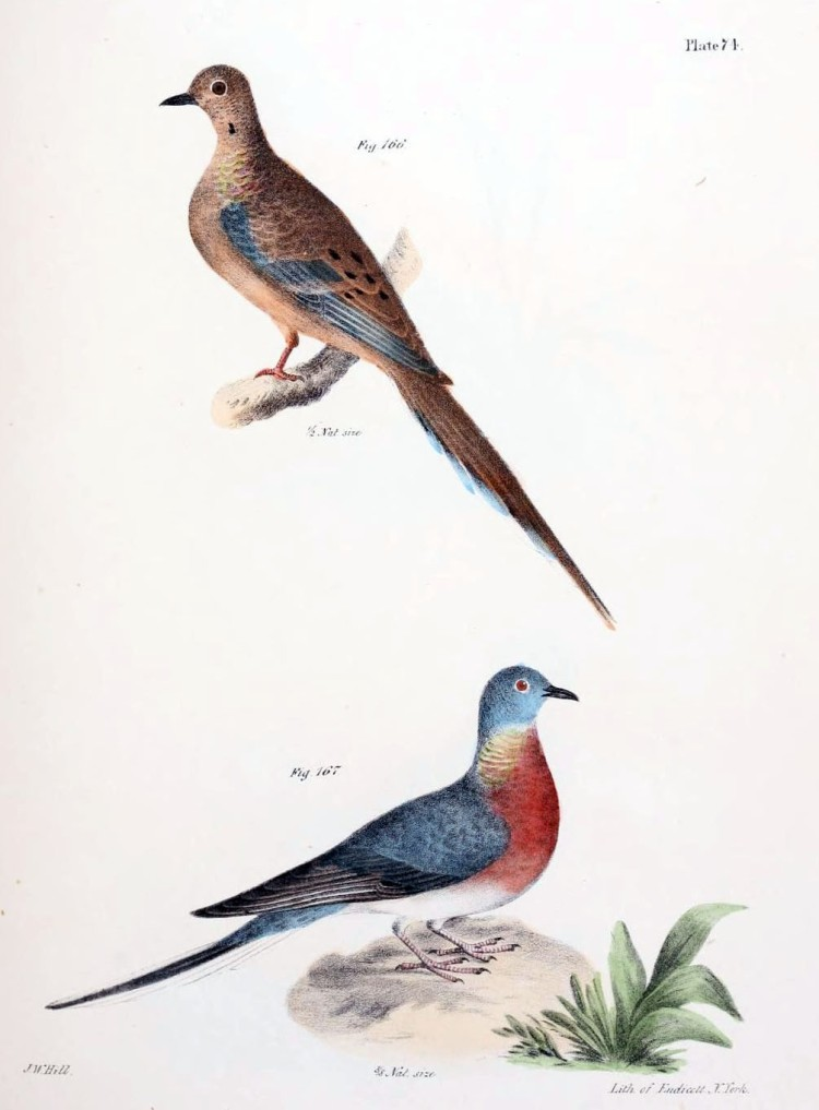 Female (top) and male (bottom) passenger pigeons (Adapted from De Kay 1842).