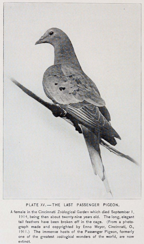 Martha, the Last Passenger Pigeon (Adapted from Forbush 1916).