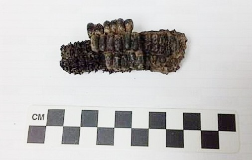 Burned cob to fragile to display