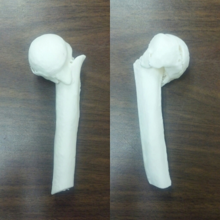 The fractured humerus printed in the Virtual Curation Laboratory.