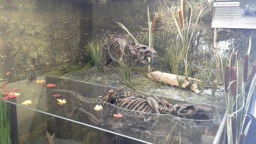 Giant beavers