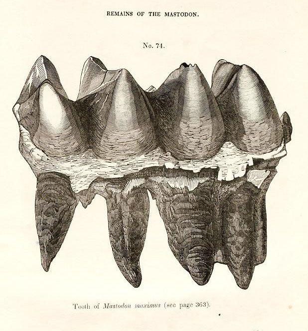 bkm_mastodon molar